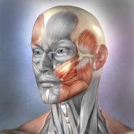 Muscle and Bone Anatomy 3D
